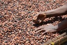 dried cocoa beans