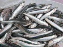 fresh frozen mackerel fish for sale