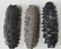 Isostichopus Badionotus Sea Cucumber