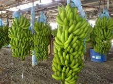 Fresh Grade AAA Cavendish Banana