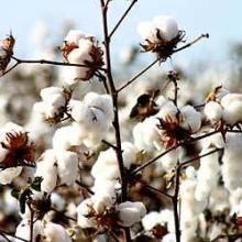 Hulled Cotton Seeds