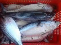 frozen   bonito  fish