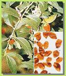Wolfberry Extract (Lycium Barbarum)