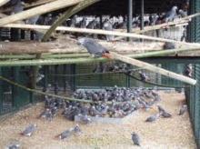 buy fertile parrotes,ostrick eggs