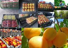 Fresh Fruits From Iran