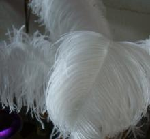 Ostrich Feathers For Sale
