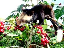 WILD CIVET COFFEE