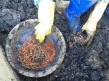 marine  worm , marine lure, marine bait, live marine  worm