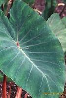 Patra leaves