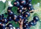 Offer Ribes Nigrum (Black currant Anthocyanin)