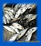 Mackerel - Scomber scombrus