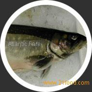 Irish Arctic Char