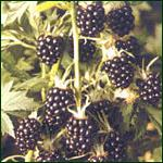 Blackberry (Loch Ness)