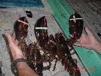 Import Chilled or Fresh Lobster
