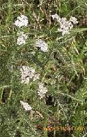 Essential Oil Achillea millefolium
