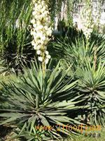 Yucca Schidigera Extract/Sarsaponin