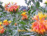 Safflower Yellow