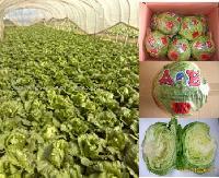 sell lettuce
