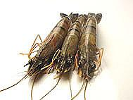 Sea Water shrimps