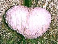 Hericium erinaceous mushroom