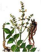 Salvia Miltiorrhiza Extract