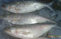 Hilsha/River Shad Fish, Fresh Fish