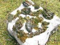 Algae Nostoc