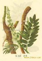 Lightyellow Sophora Root