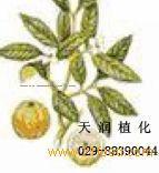 Garcinia Cambogia Extract.
