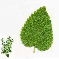 Lemon Balm Extract and Lemon Balm Oil