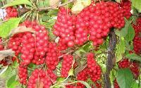 Schisandra Chinensis Berry