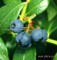 Blueberry Extract Juice Concentrate