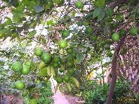 Citrus Aurantium Extract_Synephrine / Oxedrine 16% to 98% HPLC
