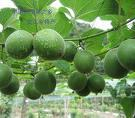 momordica fruit extract-Xi'an App Chem-Bio(Tech)Co., Ltd