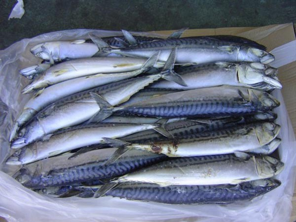 Frozen mackerel herring and other fish from norway nord for Where to buy fish